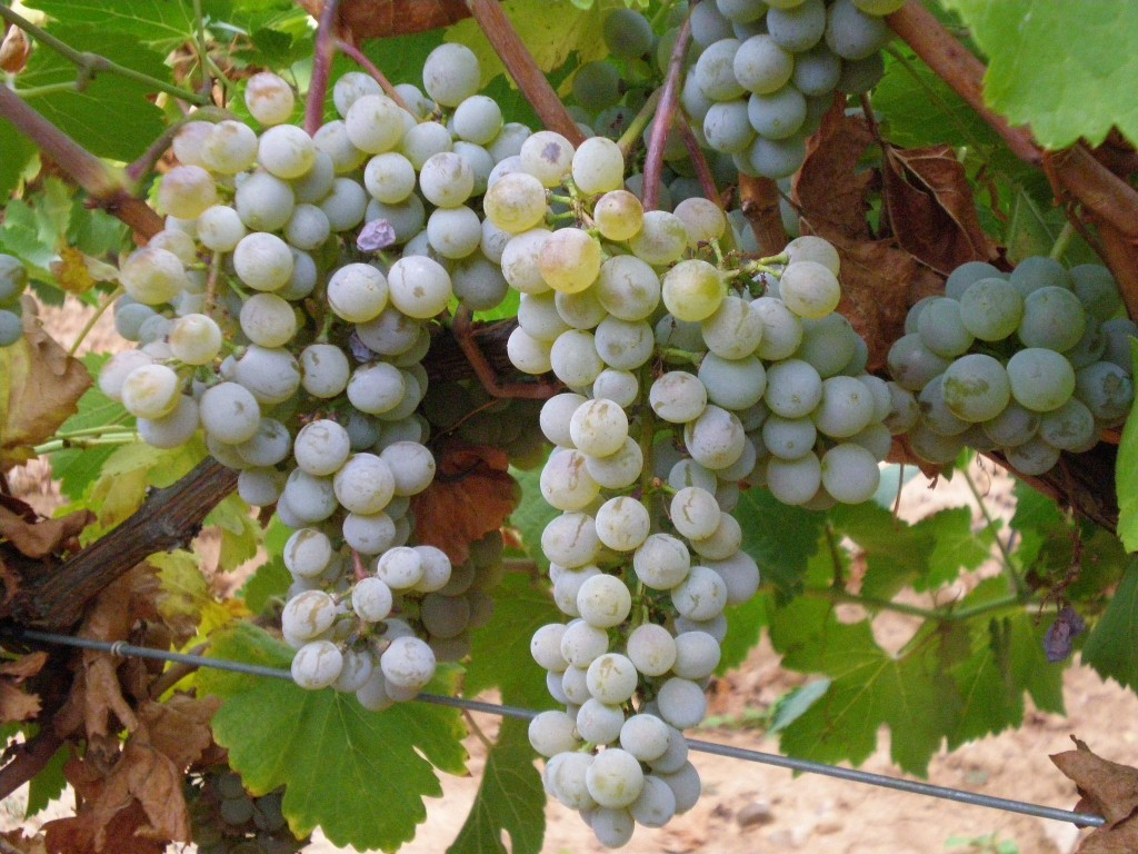 White grapes' aromas