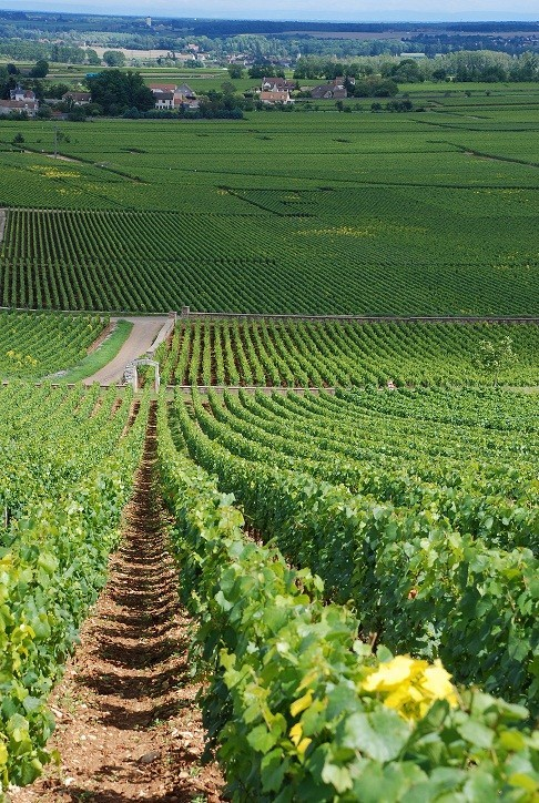 The vineyards of Burgundy want to be a World Heritage Site