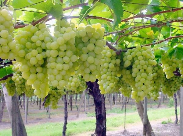 The major Italian grapes