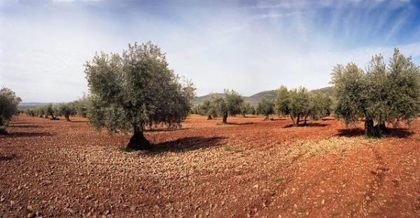 Electric shocks to Olives to improve productivity?