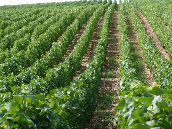 When a vintage sparkling wine should be produced?