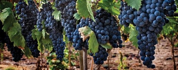 The Tempranillo grape is the fastest growing in culture worldwide