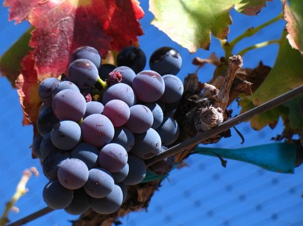 The Grenache grape: promising future