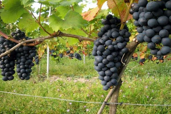 Sweden: taking advantage of climate change for wine production