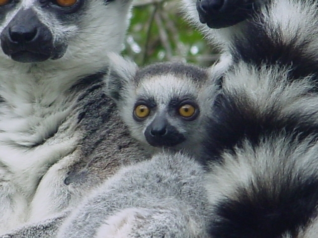 The lemurs like to feel the buzz
