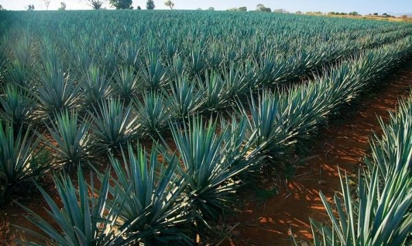 The scarcity of blue agave is having consequences in the production of tequila