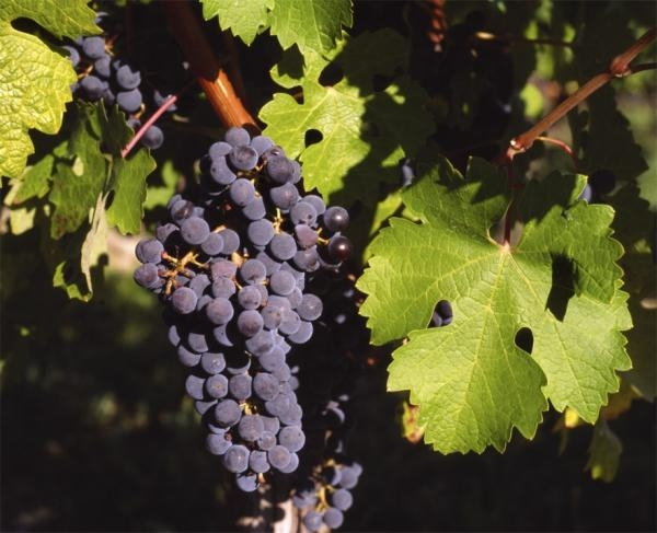 10 Things About Cabernet Sauvignon You Didn't Know