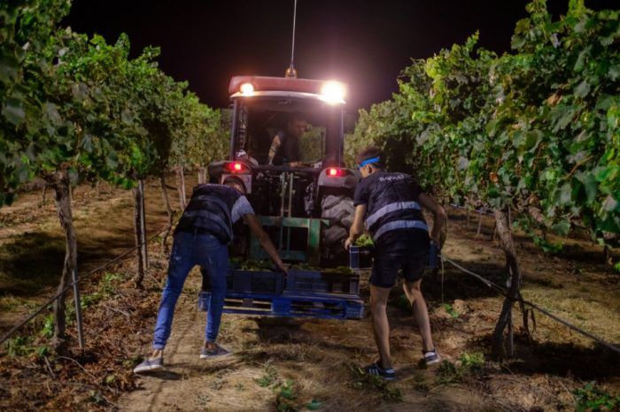 Why is grape harvested at night?