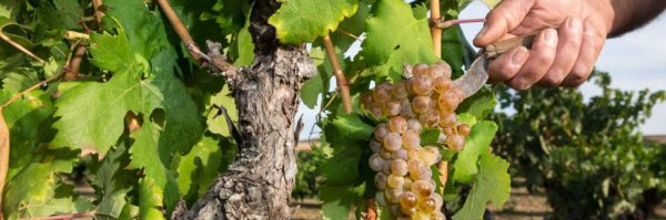 The DO Ribera del Duero Approves Production of White Wine