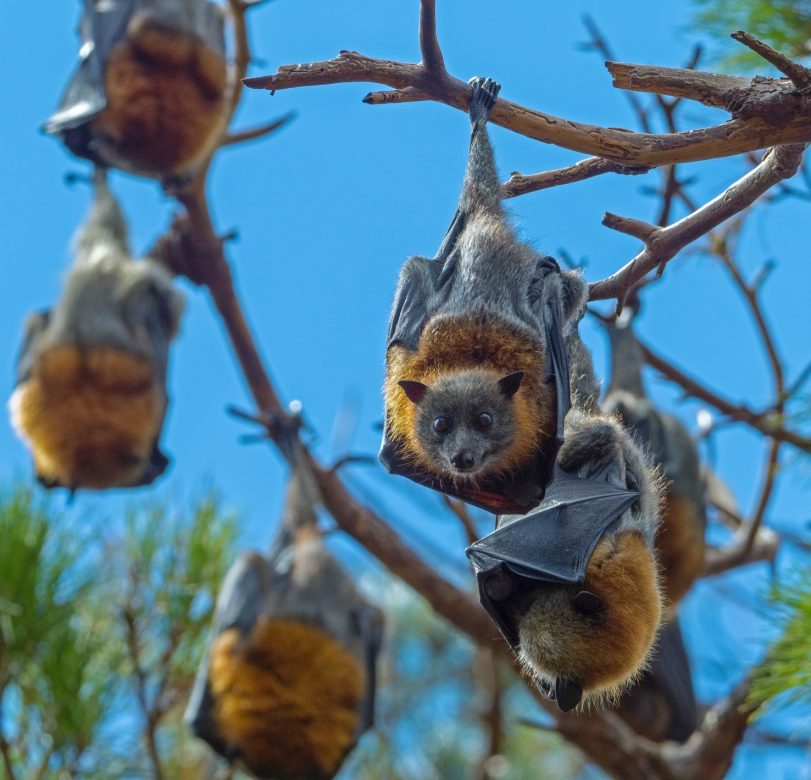 bats are vital for tequila production